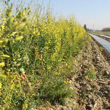 Sovescio: un metodo efficace e naturale per nutrire sia il terreno che la pianta