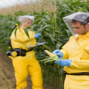 Continua l'avanzata OGM in Italia: «Scoperti nuovi terreni coltivati in Friuli»