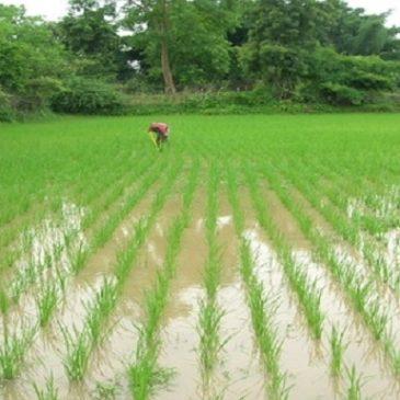 India, la rivoluzione del riso: raccolti da record senza OGM