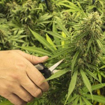 Cannabis come cura alla Sclerosi Multipla: la ricerca della Tel Aviv University