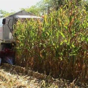 Disastro ambientale in Friuli: il Mais OGM coltivato ha contaminato anche altri campi