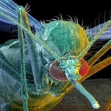 L'invasione degli insetti transgenici