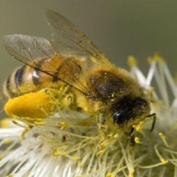 Api, il bottino avvelenato: due terzi del polline europeo è contaminato
