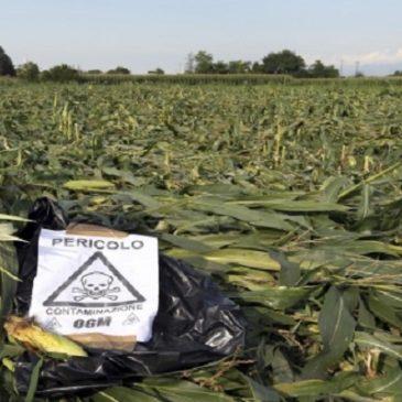 Attenzione!!! Nuova semina OGM in Friuli!  Appello a tutti coloro che sono contrari agli OGM