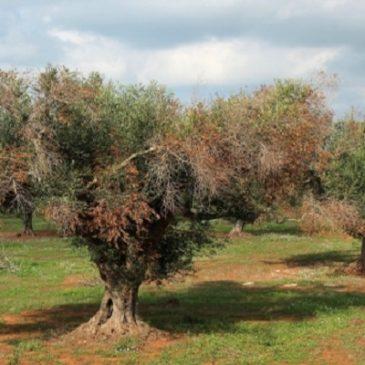 Tutta la verità sulla morte degli ulivi  in Puglia