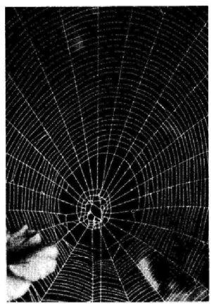 Foto: La ragnatela normalmente fatta da questi tipi di ragno