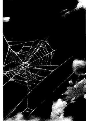 Foto: La ragnatela fatta dal ragno a 48 ore dall'assunzione di caffeina