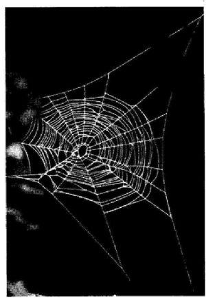 Foto sotto: La ragnatela fatta dal ragno a 72 ore dall'assunzione di caffeina