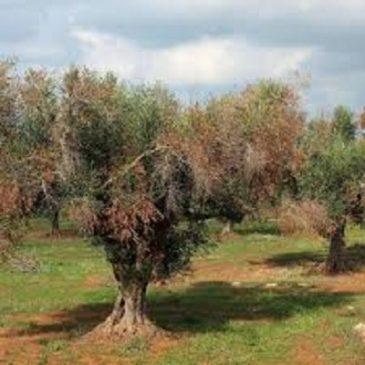Lotta alla Xylella: l'uso di pesticidi mette a rischio mille certificazioni biologiche