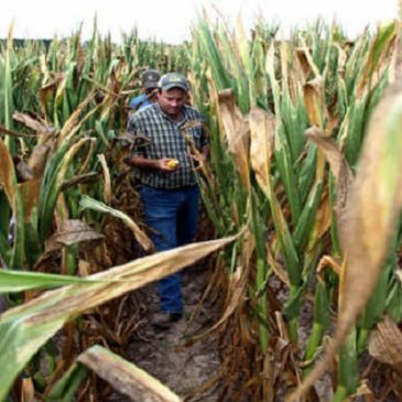 Iraq: i contadini obbligati a comprare sementi O.G.M.