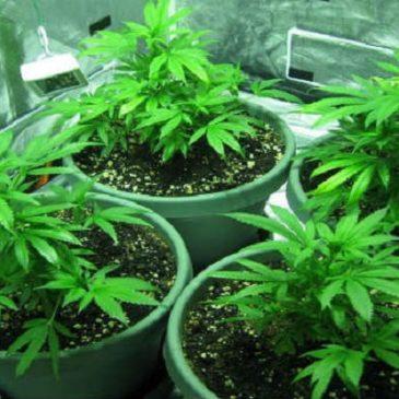 Marijuana, coltivarla a fini personali non è reato