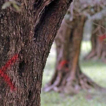 Ulivi ammalati nel Salento? Striscia la Notizia intervista l'Agroecologo Giuseppe Altieri